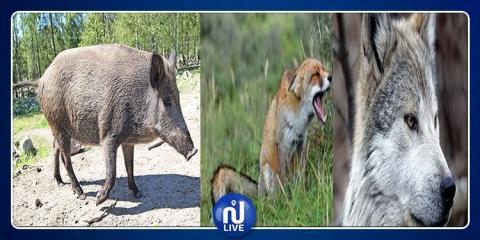 ذئاب وثعالب وخنازير تهاجم معتمدية بني خداش والأهالي يستغيثون